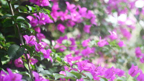 Beautiful purple flowers on a tree. Flowering summer tree Live Action