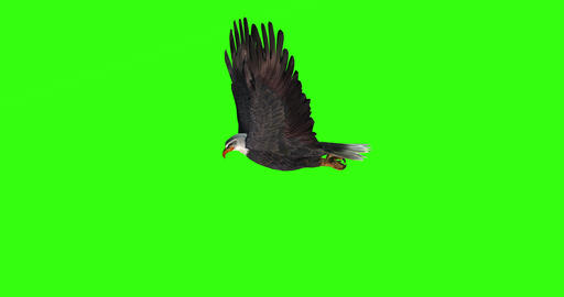 Bald eagle flies on a Green Screen Live Action