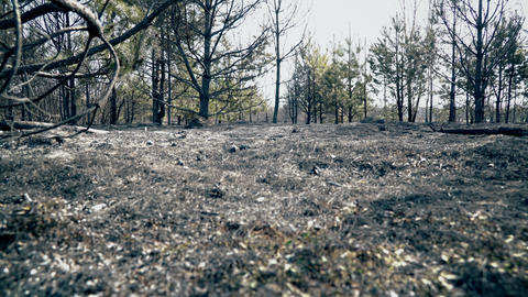 Forest after big wildfire, burned grass and burned trees, ecology catastrophe Live Action