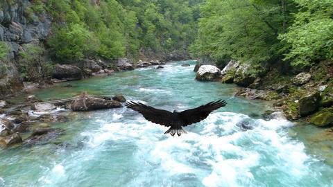 Bald eagle flies over the Tara River Live Action