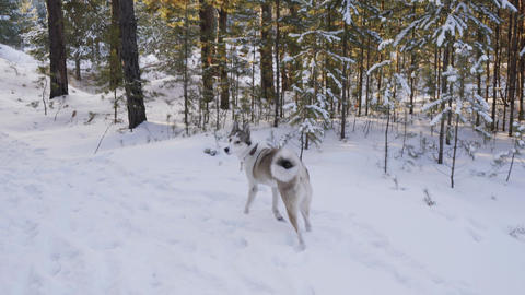 Playful dog running in snowy forest at winter walk. White and gray dog picking Live Action