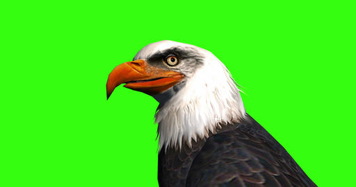 Close up of the head of a bald eagle Live Action