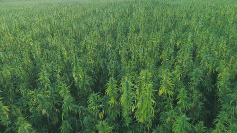 Narcotic cannabis plants growing in endless marijuana plantation outdoors. Large Live Action