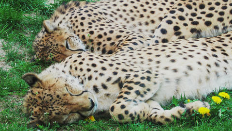 Two Cheetah Cats sleeping in the grass, Acinonyx Jubatus Live Action