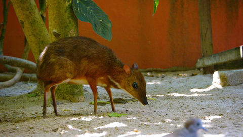 Solitary Mouse Deer Foraging for Food at a Zoo Footage