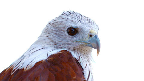 Inquisitive Brahmini Kite Observes his Surroundings Footage