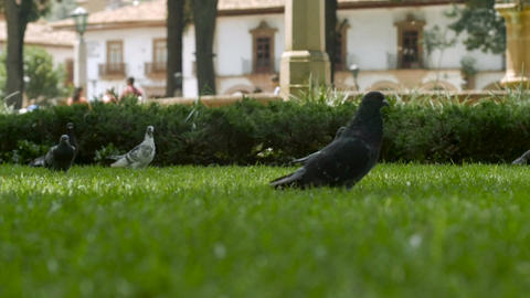 Pigeons fly off the green grass in slow motion as a young child runs by in a cit Footage