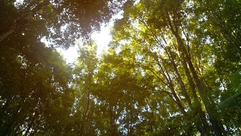 Sun Filtering through Tree Branches and Leaves. Tropical Wilderness. with Sound Footage