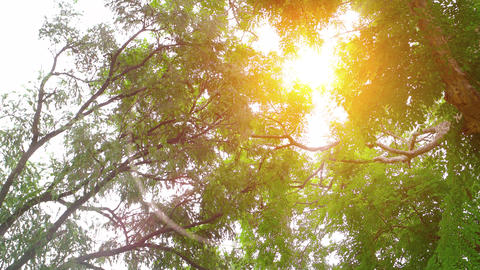 Beautiful. Golden Rays of Sunshine through Tree Branches Footage