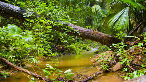 Tropical Wilderness Stream on a Rainy Day. with Sound Footage