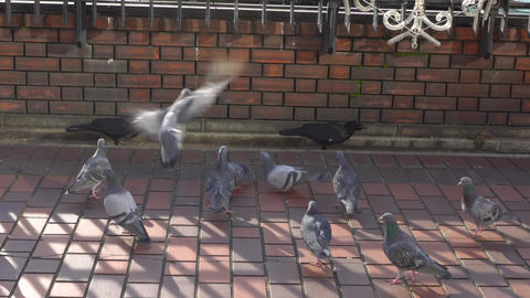 Tokyo,Japan-January 10, 2020: Battle between crows and pigeons Live Action