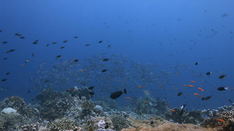 School of Humpback Snapper on a coral reef 4k Stock Video Footage