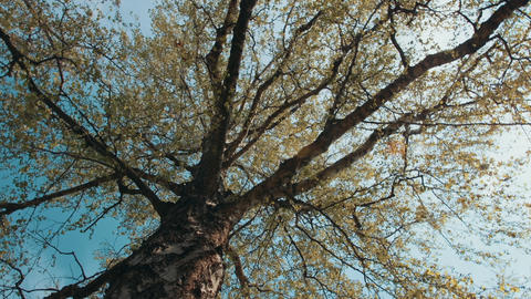 Looking up under tree in slow motion. Camera moving under tall tree Live Action