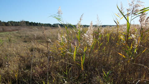 reed bushes sway in the wind in the steppes of Ukraine Acción en vivo
