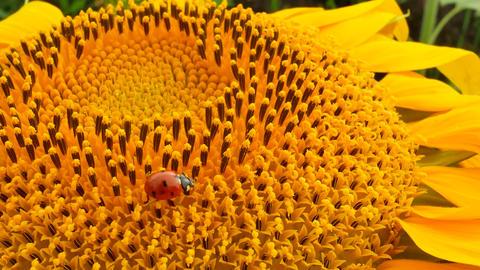 Ladybird on Yellow Sunflowers Live Action