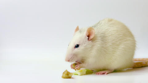4K White Rat Eating Apple Footage