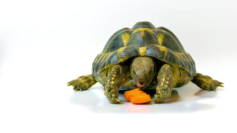 1080p Russian Tortoise Eating Carrot Footage