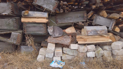 Gray cat sits by the logs of old firewood, and then runs away Live Action
