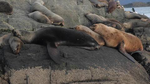 Four fur seals stacked sleeping comfortable over each other on a rocky island Live Action