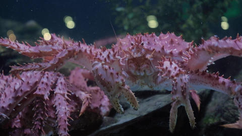 Closeup shot of a king crab moving sideways in seafood tank on display Live Action