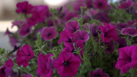 On the street Outside the window are beautiful purple flowers Live Action