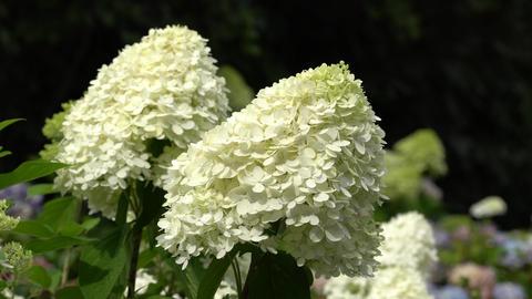 Hydrangea (Hydrangea paniculata), flowers of summer Live Action