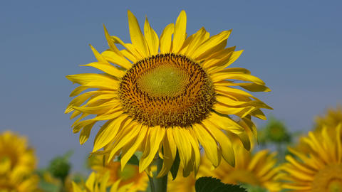 Sunflower (Helianthus annuus), close up of the flower head Live Action