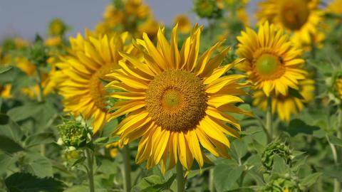 Flora - Helianthus Annuus 0