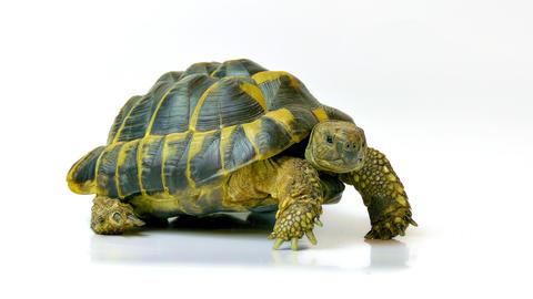 4K Russian Tortoise Footage