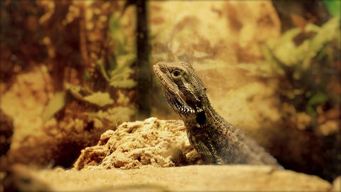 4K Central Bearded Dragon (Pogona Vitticeps) in Terrarium Footage