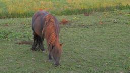 Horse grazing in field,Tiel,Netherlands Footage