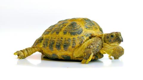 4K Kleinmann's Tortoise / Egyptian Tortoise Live Action
