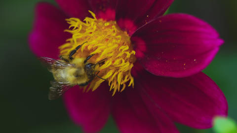 Bumblebee on dahlia flower Footage