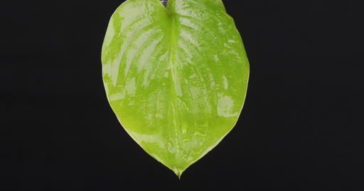 Close-up, raindrops falling on a green leaf. Streams of water flow down the Live Action