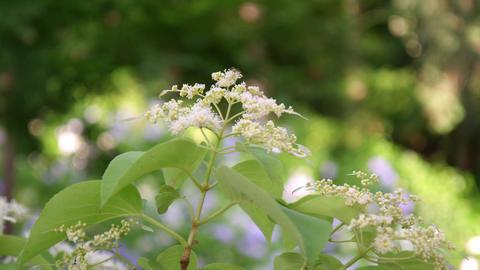 Flower ajisai integuriforia V1-0004 Footage