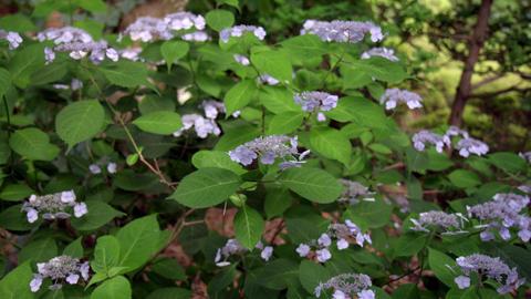 Flower ajisai jyougasaki V1-0003 Footage