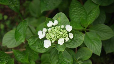 Flower ajisai rokumeikan V1-0002 Footage