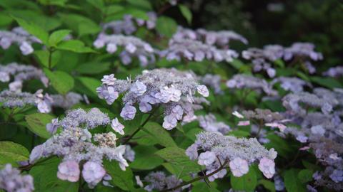 Flower ajisai yaezakiamacha V1-0002 Footage