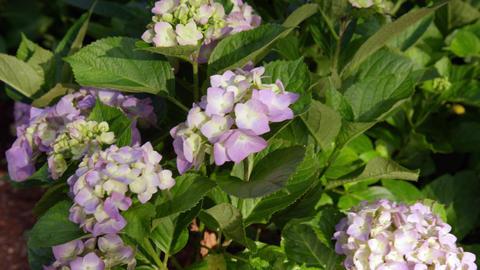 Flower ajisai yuruge gyutes V1-0002 Footage