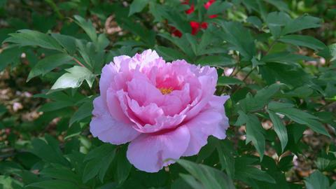 Flower botan V1-0003 Footage