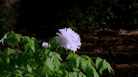 Flower botan V1-0005 Footage