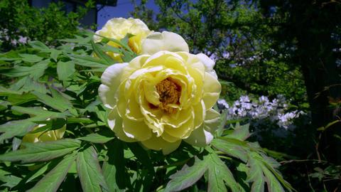 Flower botan V1-0014 Footage