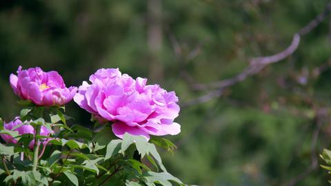 Flower botan V1-0021 Footage