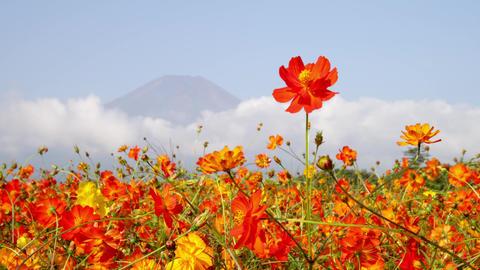Flower cosmos V1-0004 Footage