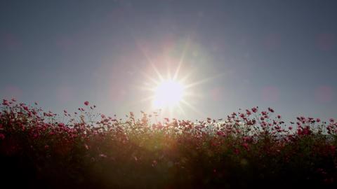 Flower cosmos V1-0020 Footage