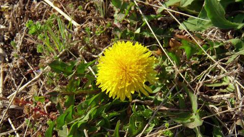 Flower dandelion V1-0001 Footage