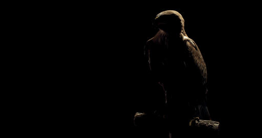 Scary wild hawk is looking around in the studio in low lighting, wild animal, 4k Live Action