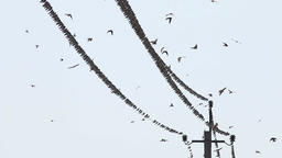 Swallows Fly and Sit on Wires Live Action