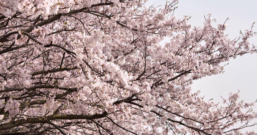 Cherry blossoms in full bloom while moving the camera slowly Live Action