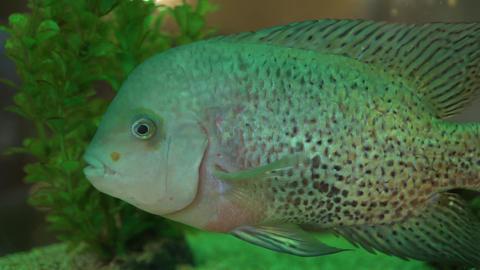 Beautiful aquarium fish of unusual color against the background of green algae Live Action